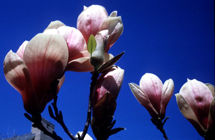 Pink Flowers Tulip Tree